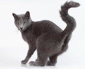 Co to jest rak paraanalnye u kotów? Jak rozpoznać i leczyć zapalenie gruczołów niż paraanalnyh?