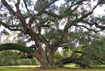 Chêne (arbre): description. Combien est un chêne
