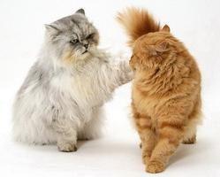 Podstawowe zasady kotów godowych i osobliwości ich przygotowania
