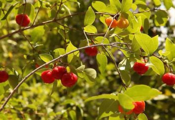 Eugenia uniflora (Pitanga): description, caractéristiques des propriétés de culture et utiles