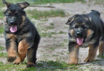 Jak zorganizować karmienia owczarków niemieckich: Szczenięta i psy dojrzewania