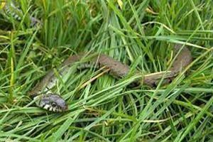 Las serpientes comen, cómo viven y mueren por esa