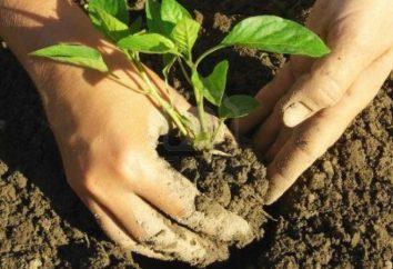 Sadzenie papryki w ziemi: musimy wiedzieć?