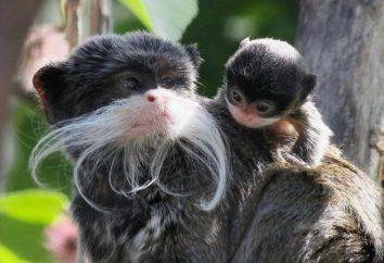 Małpa cesarz długouszka: szczególny gatunek, siedlisko, jedzenie