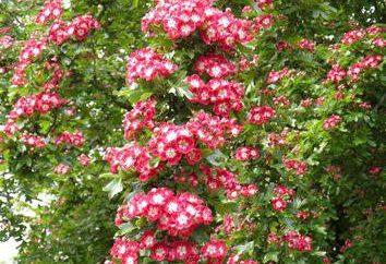 Hawthorn: Bepflanzung und Pflege, Beschreibung, Reproduktion. Hawthorn Garten: Pflanz- und Pflege