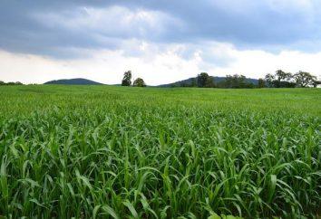 Sudan trawa: technologia uprawy, ilość nasion, nasiona i funkcje biologiczne