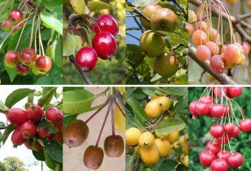 Varietà di mele per la regione di Leningrado e Nord-Ovest