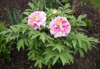 Piwonia zielnych sadzenia i pielęgnacji ogrodu kwiatów