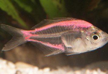 Perch glass – peces de acuario