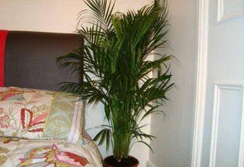 Comment transplanter un arbre de palme à la maison: étape par étape