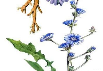 Cykorii kwiaty w medycynie ludowej. Kwiaty cykorii są przydatne i jak ich używać?