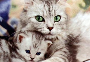 Eclampsia en gatos: síntomas y tratamiento