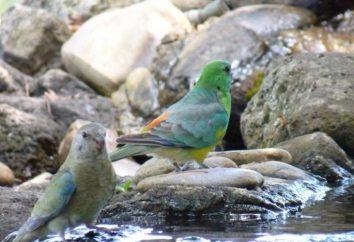 Śpiew papugi (psephotellus haematonotus)