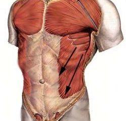 Para la belleza de la cintura responde los músculos abdominales oblicuos