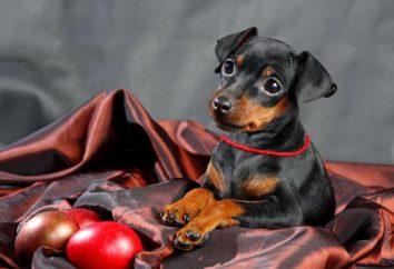 Pinczer rasy Opis: zdjęcia, właściwości i reakcje. Jak przywieźć psy tej rasy?