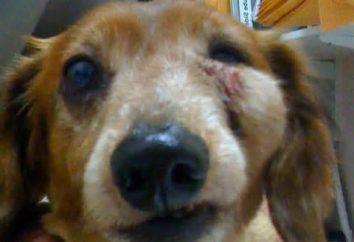 Ropień u psów: fotografia, leczenie