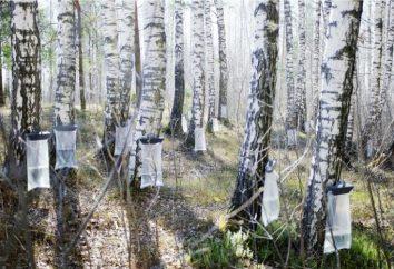 Succo di betulla: la composizione, la preparazione, l'applicazione