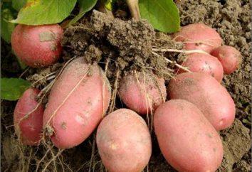 Ziemniaki, gatunek Bellarosa. Dane techniczne i opis