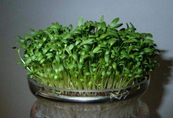 Rzeżucha: Szkód i korzyści, wartość odżywcza, kaloryczny
