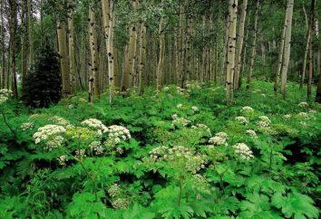 Barszcz syberyjski – trawa Pican