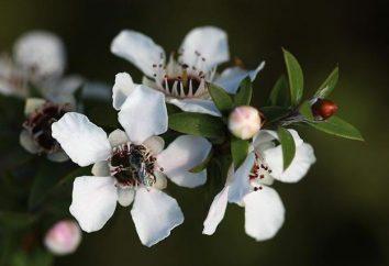 """Nueva Zelanda miel """"Manuka"""": propiedades útiles, aplicaciones críticas"""