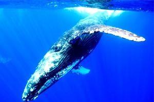 Signori del mare: circa dove la vita delle balene, e perché è gettato sulla terraferma