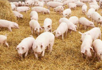 Porcos: criando em casa como empresa