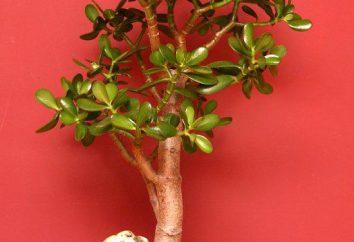 """Jade – un """"árbol de la felicidad"""" o """"árbol del dinero"""". plantas del país de origen, descripción, cuidado"""