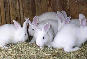 La coccidiosis en conejos: tratamiento, síntomas, prevención, síntomas de la enfermedad