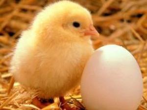 Interprétation des rêves: poulets – pour le meilleur ou pour le pire?