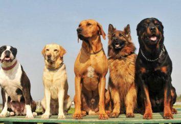 Jak określić rasę psa: Różne znaki rasowy