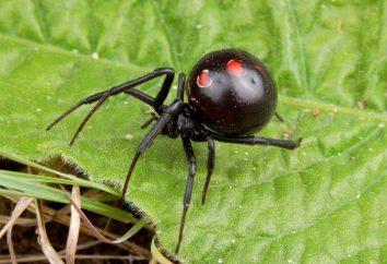 """Los quemadores de grasa """"Negro Widow"""" (Negro Araña): la composición, las instrucciones, comentarios"""