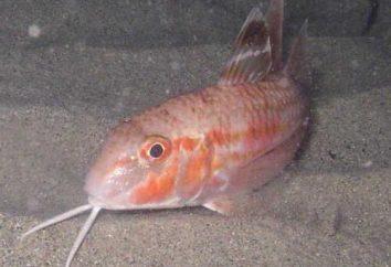 Morza Czarnego barwena (Mullus barbatus): opis, zdjęcia, wędkarstwo