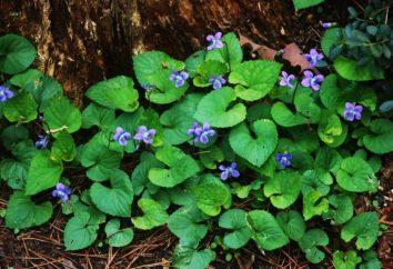 violette selvatiche nelle leggende, miti e riti