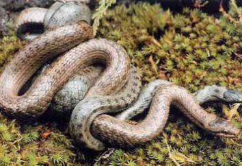 Fatos interessantes sobre répteis: cobras como uma raça