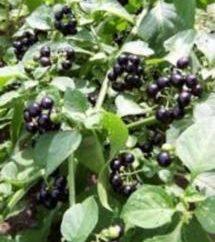 Sunberry. Cultivo e propriedades úteis