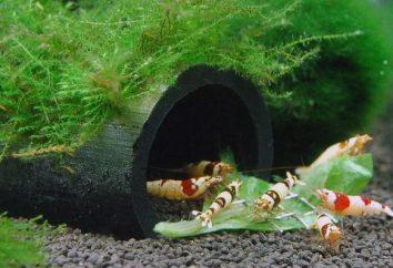 Krewetki akwarium: rodzaje, warunki przetrzymywania i hodowli