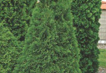Tuia Holmstrup: descrizione e le caratteristiche di coltivazione
