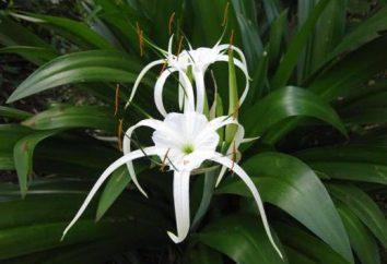 hymenocallis quarto da flor: cuidados em casa