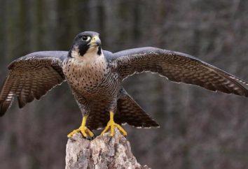 Który ptak leci szybciej niż ktokolwiek inny? Zapisy u ptaków
