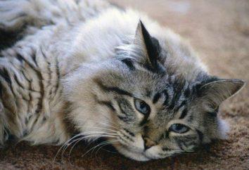 """""""Renal Edvansed"""" (per i gatti): testimonianza, applicazione, feedback del proprietario"""