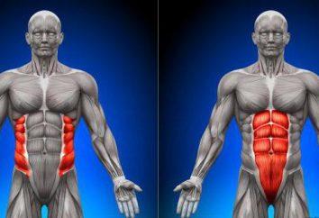 Músculo abdominal transverso e outros músculos abdominais