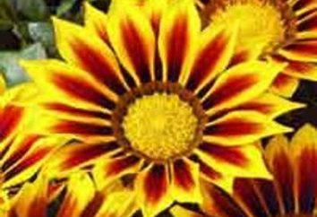 Gatsaniya. Piantagione e cura delle piante