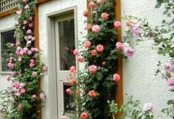 Per preservare la bellezza dell'estate. Come copertura per l'inverno rose rampicanti