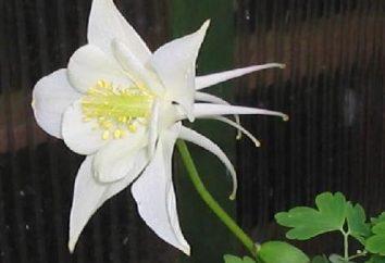 Columbine – fiore con forme insolite