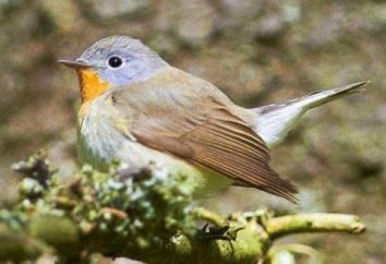 Pigliamosche – una petite uccelli e bella