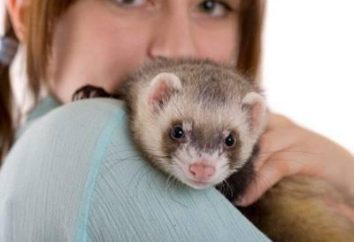 Ferri come animali domestici: vantaggi e contro, condizioni di cura e cura