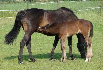 Foal – cavallo bambino. La nascita, lo sviluppo