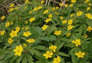 jaskier Anemone (lyutichnaya): opis, zdjęcia, sadzenie i pielęgnacja