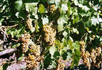 Uve Citron Magaracha: descrizione della varietà